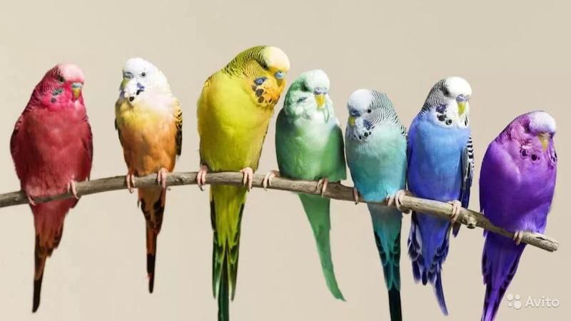 Волнистые попугайчики, выбор и уход