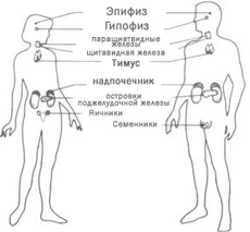 Железы внутренней секреции (эндокринные железы) участвуют в синтезе и выделении веществ (гормонов), действующих на клеточном уровне и прямо влияющие на скорость обмена, развития и рост клеток.